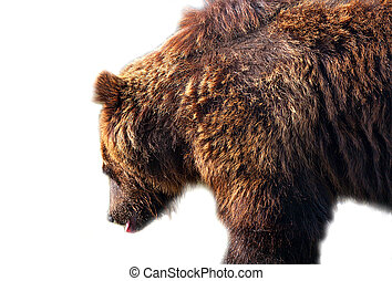 Big brown bear isolated on white background.