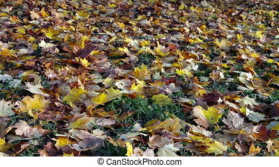 Autumn bright maple leaves fall down and cover ground -...