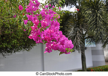 Bougainvillea (B. spectabilis) - Native to South America but...
