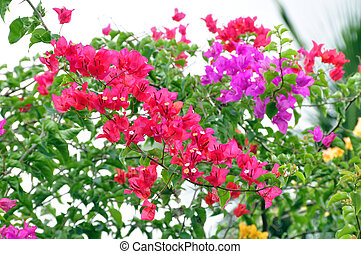 Bougainvillea B spectabilis - Native to South America but...