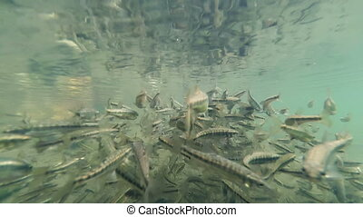 Flock of small fish underwater - Flock of small fish under...
