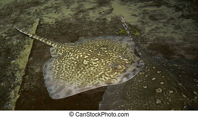 Stingray on Shallow Water - A stingray is laying on the...