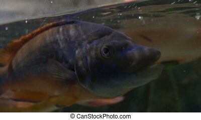 Tropical Fish near Water Surface - A tropical fish breathing...