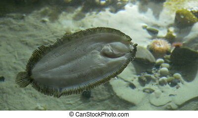 Flat Fish in Aquarium - A turbot fish laying near the bottom...