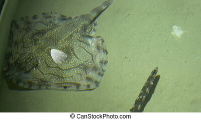 Stingray in Aquarium - Water Waving view of a stingray which...