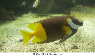 Rabbitfish in Aquarium - Rabbitfish at the water bottom...