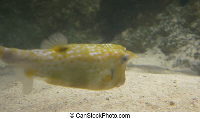 Longhorned Cowfish - A tropical small longhorned cowfish is...
