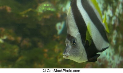 Scalar Fish in Aquarium - A curious scalar fish is swimming...