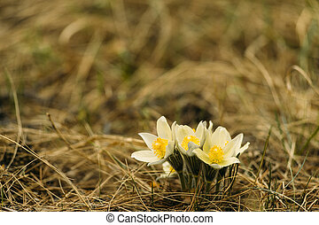 flower Pulsatilla - Flower Pulsatilla . it is also called...