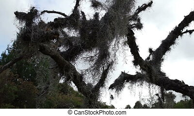 Spanish Moss in Dead Tree Dolly - Low angle dolly shot of...