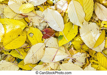 cherry tree leaves at the grass in harmonic autumn colors -...