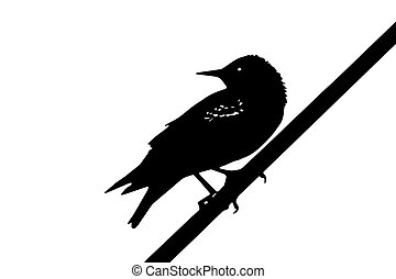 bird - the starling