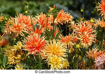 jardim, cima, amarela, fim, laranja,  Dahlia, flores