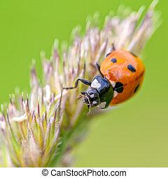 ladybird - a ladybird climbing on a blade of grass