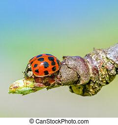 ladybird closeup