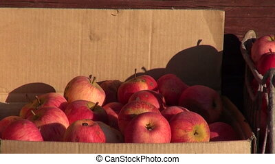 Apples in metal and cardboard boxes by old barn in autumnal...