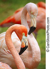 Two Flamingoes - Detail of the heads of two pink flamingoes....