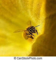 miel, abeja, amarillo, dorado, calabaza, flor
