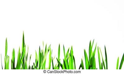 Wheat plants growing - Timelapse of growing wheat plants