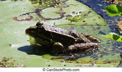 Frog on lily. - Green frog sitting on a lily in the river.