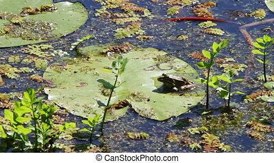 Frog on lily - Green frog sitting on a lily in the river