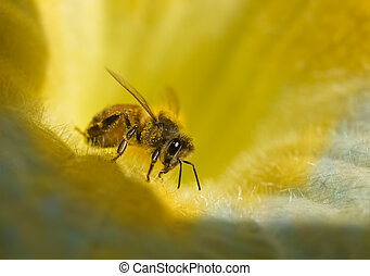busy honey bee with honeydew on golden yellow blue flower...