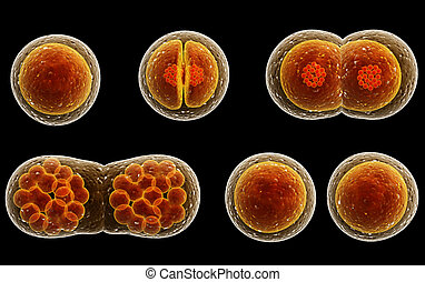 Process division of cell. Isolated on black background