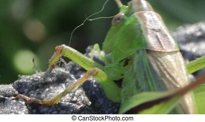 Close up of Green Grasshopper - Closeup Grasshopper,...