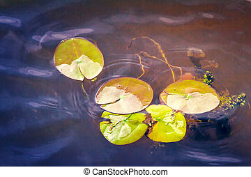 The leaves of water lilies on the water in the river - On...