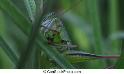 Grasshopper in the green grass - Meadow grasses among which...