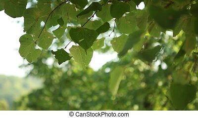 The green leaves of the tree sways the wind