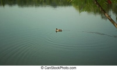 One little duck floats on the Great Lakes Ukraine