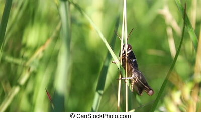 Grasshopper in the green grass. - Meadow grasses among which...