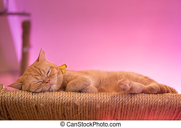 Peaceful orange red tabby cat male kitten curled up sleeping...