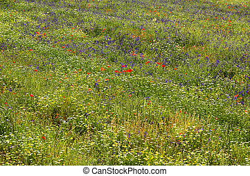 Verdon: flowers - Verdon (Provence, France): a field with...