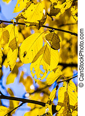 cherry tree leaves under blue sky in harmonic autumn colors...