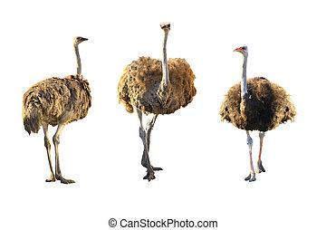 emus,