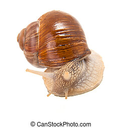 Garden snail (Helix aspersa) Snails provide an easily...