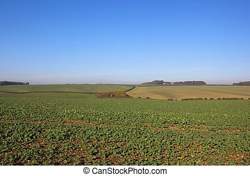 young canola crop - a young canola crop on chalky soil in...