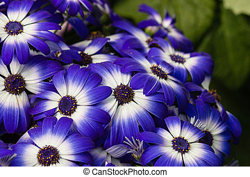 blue and white osteospermum flowers - closeup of blue and...