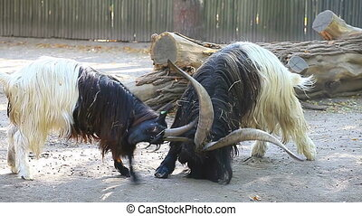Two bighorn rams head-butt each other to establish dominance...