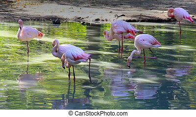 Beautiful footage of pink flamingos in early morning light