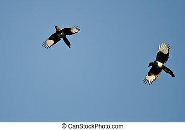 dos, Black-billed, Urracas, vuelo, en, Un, azul, cielo,
