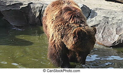 Brown bear looking for food in Kiev Zoo