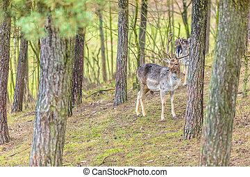 Herd of deer in the wild Deer flock in natural habitat