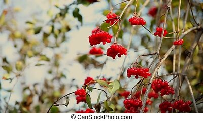 branch of rowan tree in autumn limp wrinkled red - branch of...