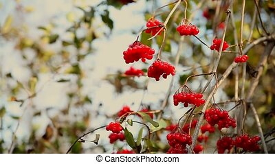 branch red of rowan tree in autumn limp wrinkled - branch...