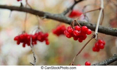red branch large of rowan tree in autumn limp wrinkled - red...