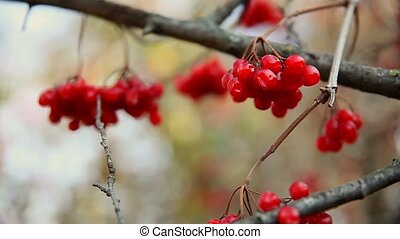 branch large red of rowan tree in autumn limp wrinkled -...