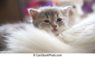 Big face gray kitten lying asleep on another white kitten -...